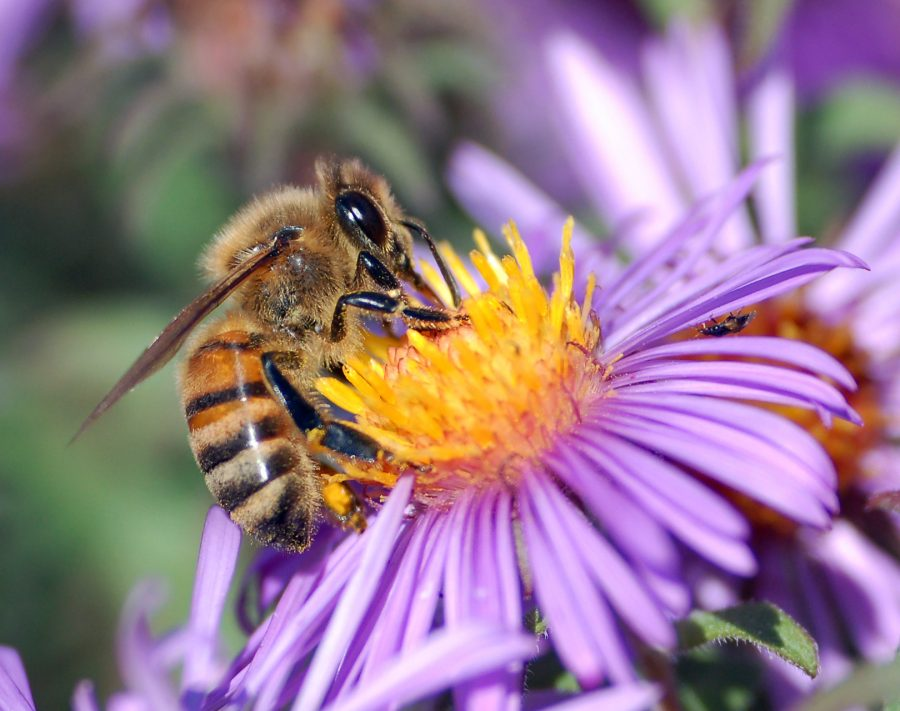 European+Honey+Bee+extracts+honey.+