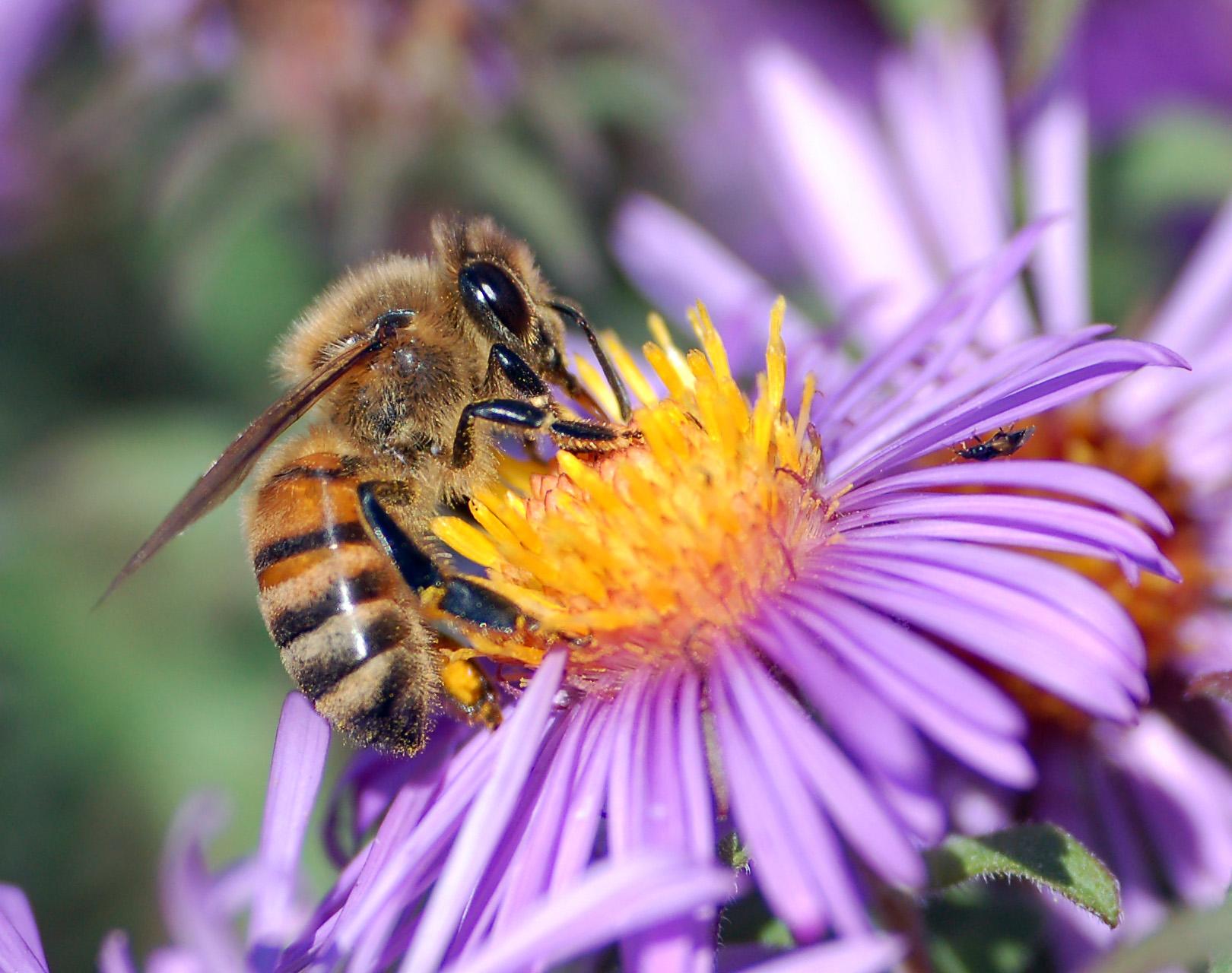 European Honey Bee extracts honey.